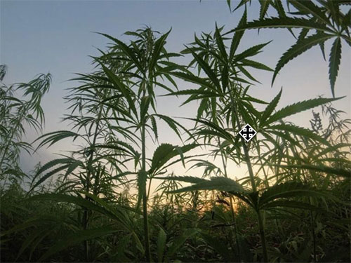Hemp vs Cannabis: What You Need to Know